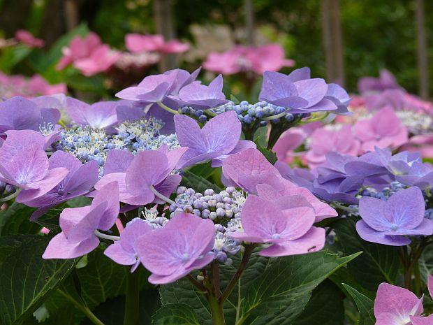 6868-hydrangea-macrophylla-hortenzie-6