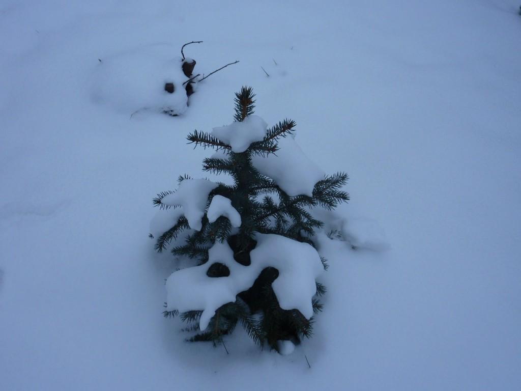 Smrček pod sněhem