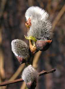 Kočičky - částečně rozvité pupeny v květy na vrbě jívě