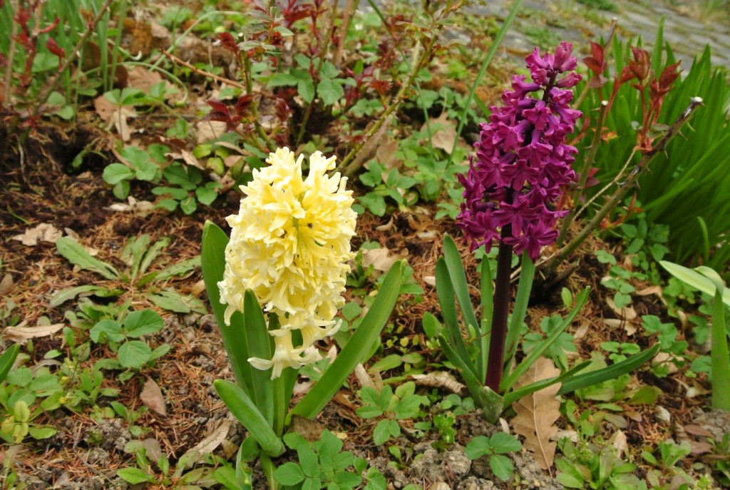 Hyacinty kvetou