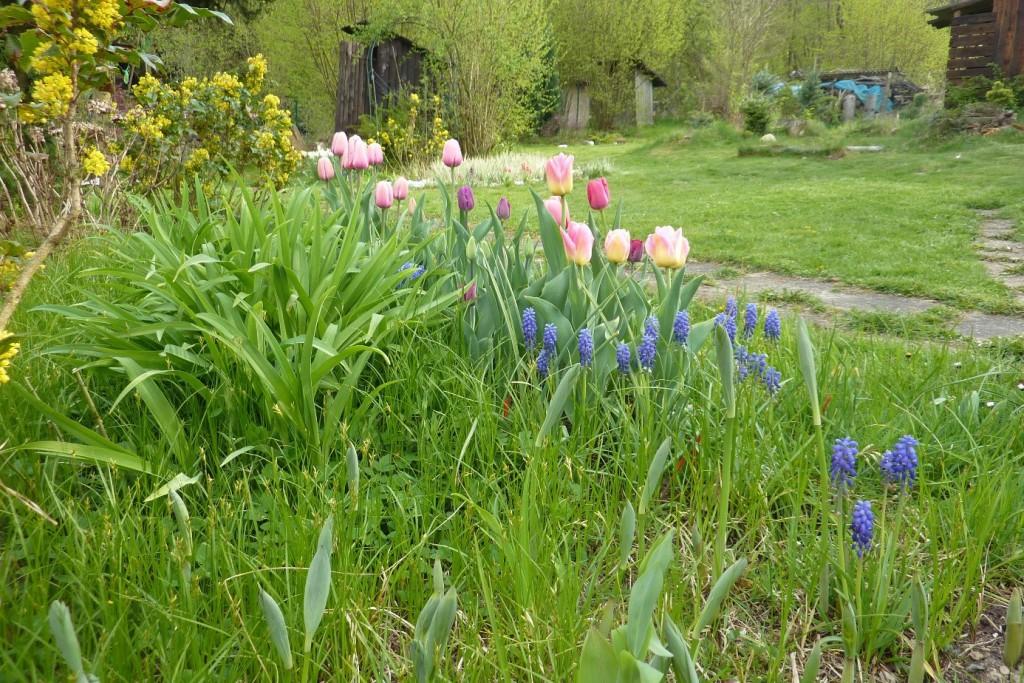 Modřence a tulipány kvetou