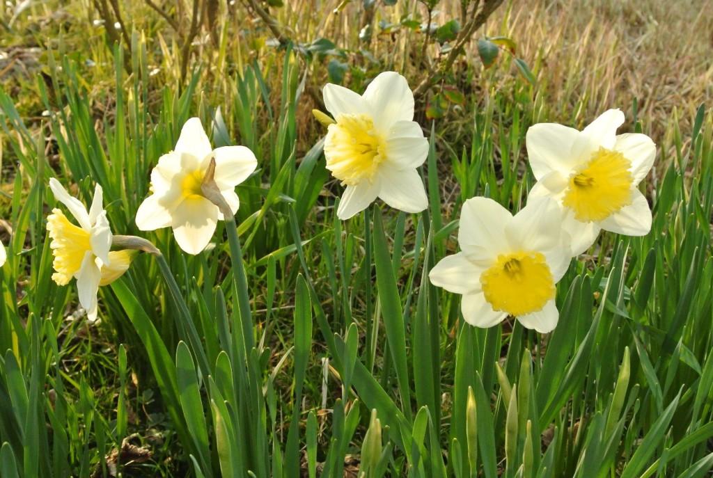 Narcisky kvetou