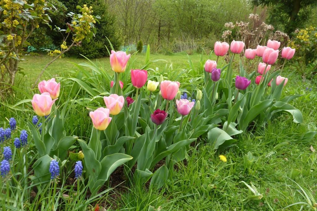 Tulipány, modřence a hortenzie
