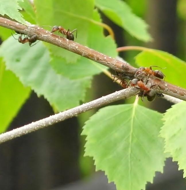 Mravenci na břízce detail